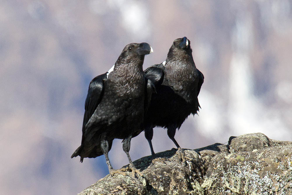 white-necked ravens, Lava Tower