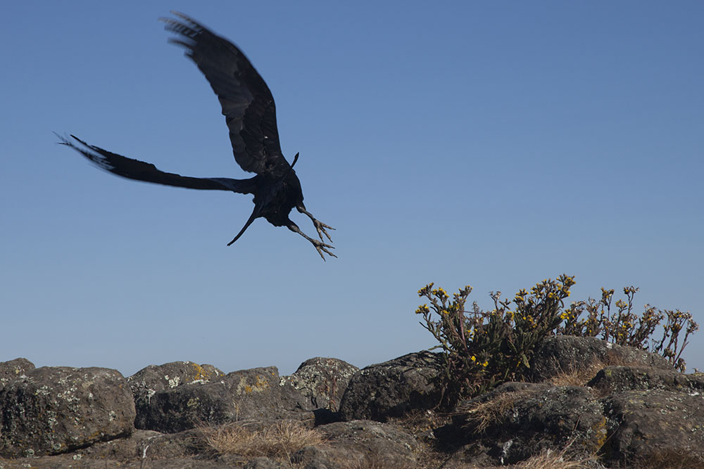 white-necked raven taking off