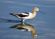 American avocet reflection thumbnail