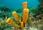 Yellow sponge group