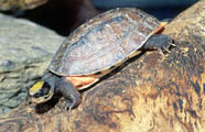 Chinese three-striped box turtle