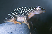 Malagasy spotted frog