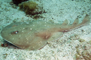 giant electric ray photo