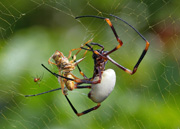 Golden oprb spider wrapping prey in silk thumbnail