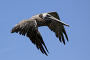thumbnail of brown pelican in flight