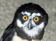 spectacled owl thumbnail