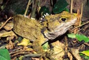 tuatara on forest floor